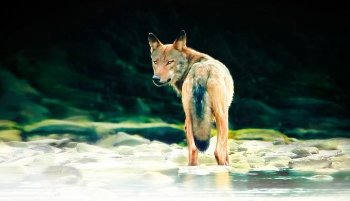wilcze (2)
